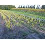 Oleo Texanum Aurea 4lts Ideal Para Cerco Vivero Iris
