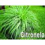 10 Mudas De Citronela Cymbopogon Winterianus