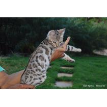 Mini Leopardos - Filhotes De Gatos Da Raça Bengal!!!