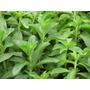 Combo Planta De Yacon Planta De Stevia +kit De Reproduccion