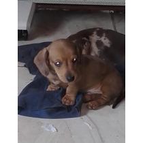 Ultimo Cachorro Salchicha Mini Macho Rojo Arlequin