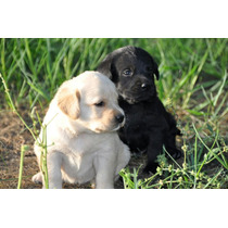 Labradores Dorados, Negros Y Chocolates!!