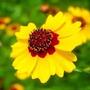 320 Sementes Da Flor Coreopsis Elegant Sortido #0vre