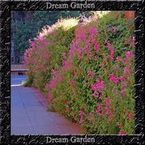 Trepadeira Amor Agarradinho Rosa Sementes Flor Para Mudas