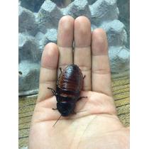 Cucaracha De Madagascar (alimento Vivo) O Mascota