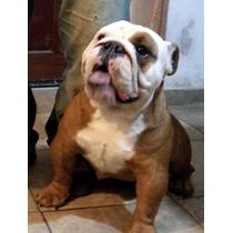 Bulldog Inglés Servicio
