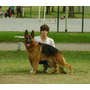 Ovejero Alemán - Cachorros Con Pedigre Poa