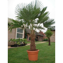 Semillas De Trachycarpus - Palmera Resistente Al Frío