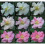 Rosa Loca!! Hibiscus Mutabilis - Semillas Para Plantas