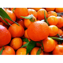 Mandarina Reyna ( Árbol ) , Citrus Reticulata , Jugosa Y Gr