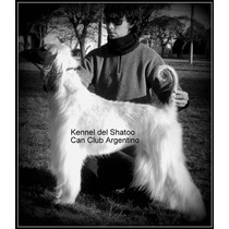 Cachorros Afganos Linaje Uriel Dupouy Con Pedigri Oficial.