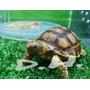 Tortugas Sulcatas Reptiles