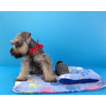 Schnauzer Macho Miniatura Vacunas Cartilla Y Kit
