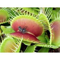 50 Sementes De Planta Carnivora Super Promoção