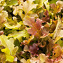 1 Libra De Semillas Lactuca Sativa. Lechuga Red Salad Bowl