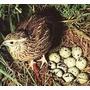 Aprende A Criar Codornices Pavos Patos + Obsequio