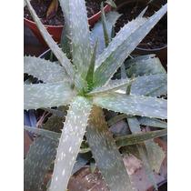 Plantas De Aloe Vera/barbadensis/miller