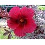 Cramberry Hibisco - Hibiscus Acetosella Semillas P/ Plantas