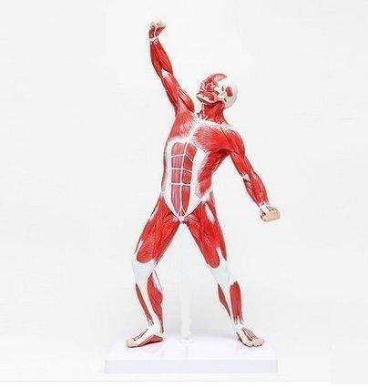Cuerpo Humano Con Musculos Para Estudio Medicina Anatomia - $ 2.699 ...
