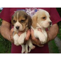 Cach Beagle Hermosos!!! Con Pedigree Fca!! Bic Y Tric