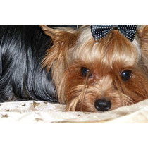 3 Cachorros Yorkshire Terrier Con Pedigree