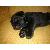 Filhote De Labrador Preto