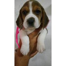 Hermosos Cachorros Beagle 100% Raza Pura