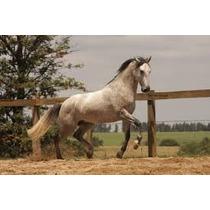Cavalo Lusitano Com Registro