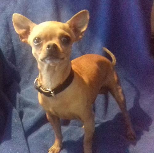 Perro Chihuahua Cabeza De Manzana Para Monta - $ 1,000.00