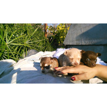 Hermosas Chihuahuas