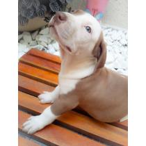 Último Filhote Pit Bull Macho - Pitbull Red Nose, Pirata