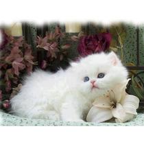 Gatinhos Persa E Exoticos Super Fofinhos Em Até 12 Sem Juros