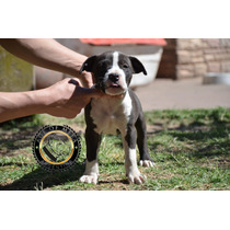 Pitbull Blue Black Criadero Age Of Meka Registro Ukc