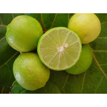 Arbolito De Limon Criollo Citrus Aurantifolia