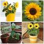 10 Mini Sementes De Girassol Anão Para Vasos