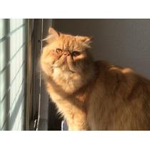 Gato Persa Red Tabby Busca Novia ( Gatitos Disponibles)
