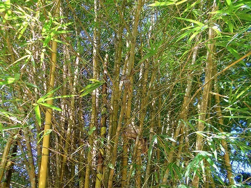 Resultado de imagem para bambu cana da india