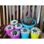 Cactus Y Crasas - Echinopsis Multiplex