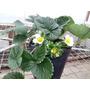 Planta/plantin De Frutilla