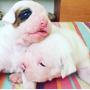 Cachorros Bóxer Blancos