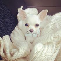Chihuahua Blanco Macho Pelo Corto Con F.c.a. Con Envio