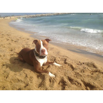 Monta American Pitbull Terrier Red Nose