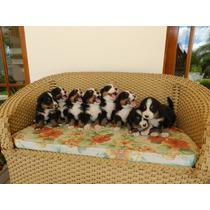 Filhotes De Bernese Mountain Dog - Presente De Natal