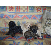 Cachorros De Caniche Toy Y Mini