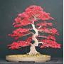 Semillas Arce Japones Acer Japonico Palmatum Rojo Purpura