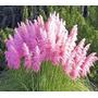 Sementes Capim Dos Pampas Grass Cortaderia Pink P/ Mudas