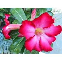 Rosa Do Deserto, Compre 2 E Leve 3. A Terceira Muda É Grátis