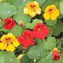 Exóticas Flores Enredaderas- Nasturtium Doble Destello