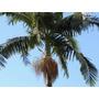 100 Mudas De Palmeira Real - Arvore Seafórtia