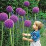 Sementes De Allium Giganteum Flor Alho Gigante Rosa Mudas